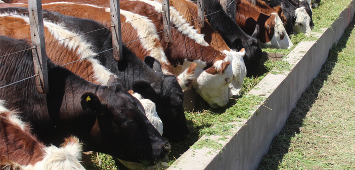 Alternativas de engorde para vacas