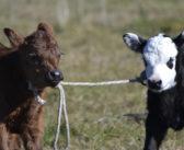 Dos enfoques sobre los problemas del ganado