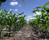 Evolución de rindes de maíz por partido