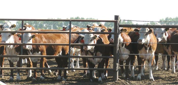 El buen manejo del ganado en el feedlot