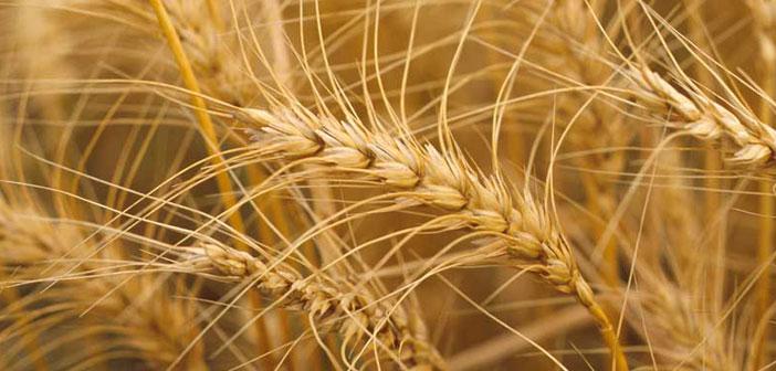 Perspectivas del mercado de trigo 2019/20