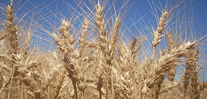 Costo de control de malezas resistentes en trigo