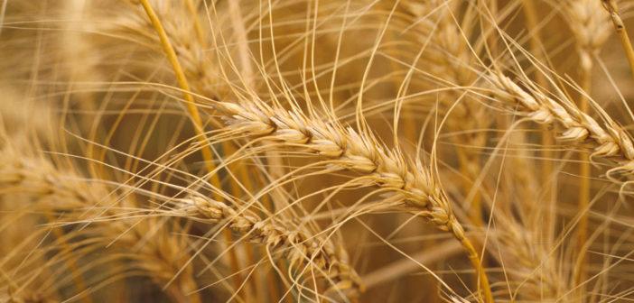 Rindes de trigo por partido
