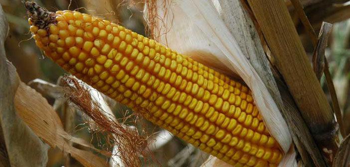 Perspectivas para el maíz 2020/21