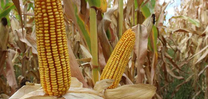 Soja o maíz en campos arrendados 2021/22