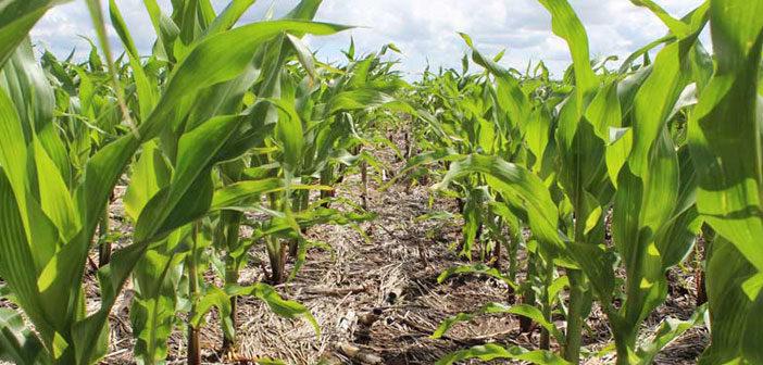 Balance de nutrientes en maíz